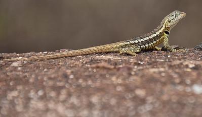 ECQ_2661-Lizard