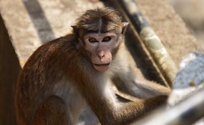 SRI_2085-7x5-Monkey