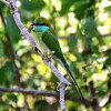 SRI_2252-7x5-Little green bee eater