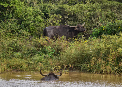 SRI_0147-7x5-Wild-Water Buffalo