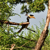 SRI_2523-7x5-Yellow bill Hornbill