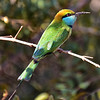 SRI_2277-5x7-Little green bee eater