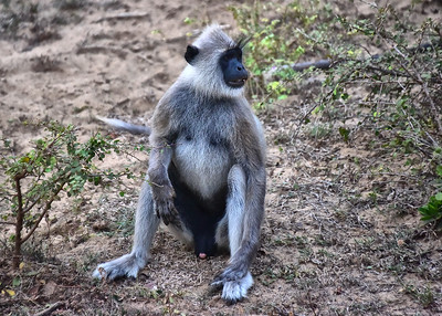 SRI_0605-7x5-Gray Langur Monkey