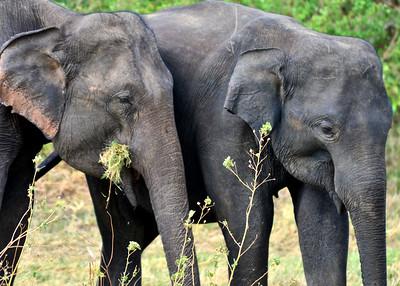NEA_0820-7x5-Elephants