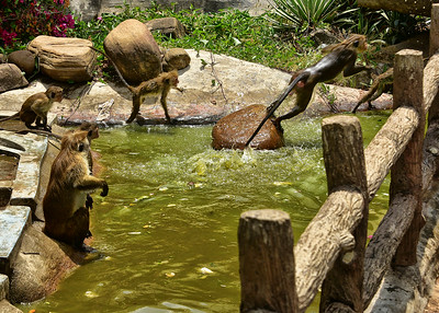 NEA_0614-7x5-Monkeys swiming