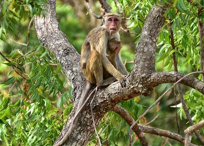 NEA_1586-7x5-Monkey