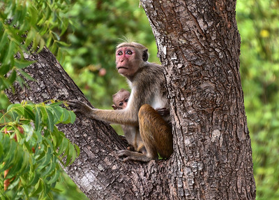 NEA_1573-7x5-Monkey