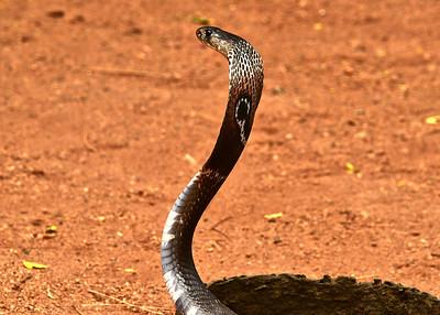 NEA_1224-7x5-Cobra Snake