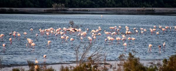 SRI_3581-Flamingos-Dubai