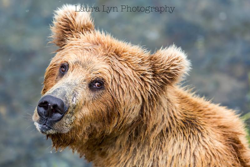 Looking Back Bear