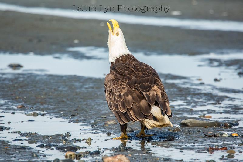 Eagle Call