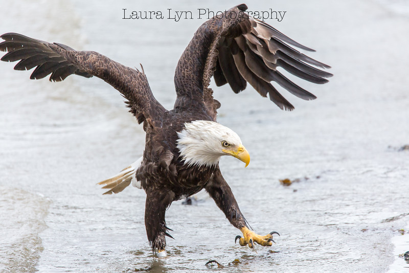 Walk on the Beach Eagle