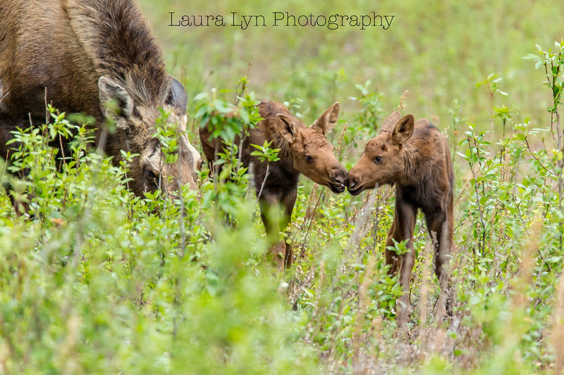 Baby Moose Smooch