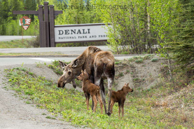 Denali Moose Family Photo