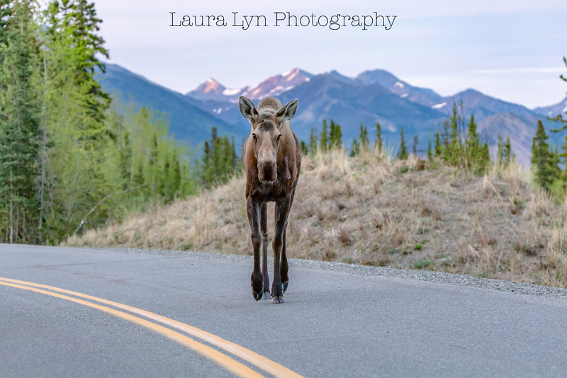 Jaywalking Moose