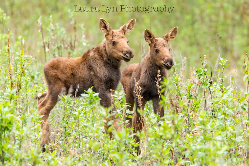 Terrific Twosome Moose