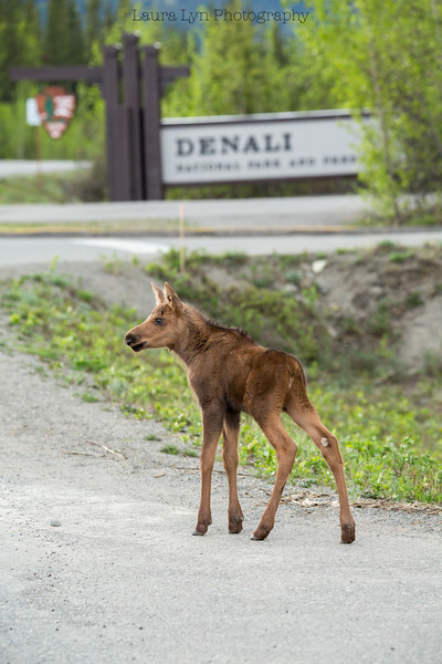Baby Moose Strikes a Pose