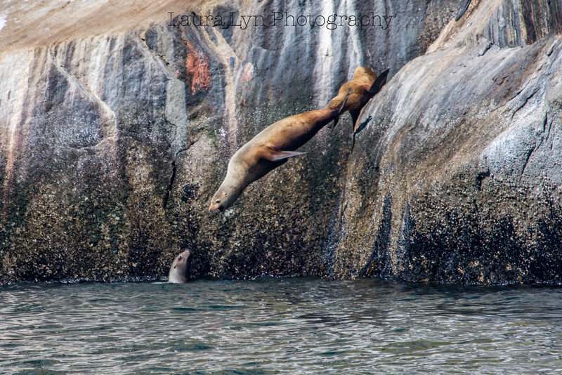 Sea Lion Leap