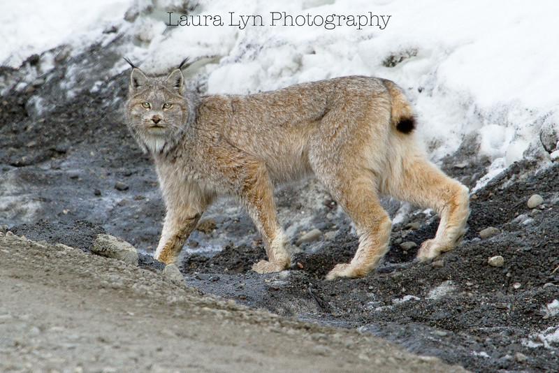 Lynx Crossing