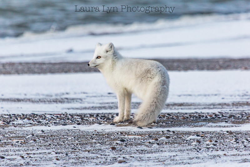 Arctic Fox Barrow October 2014 1 Edit 2