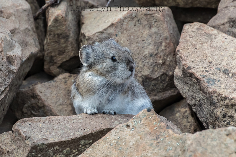 Pika Denali National Park May 21 2016 1-4