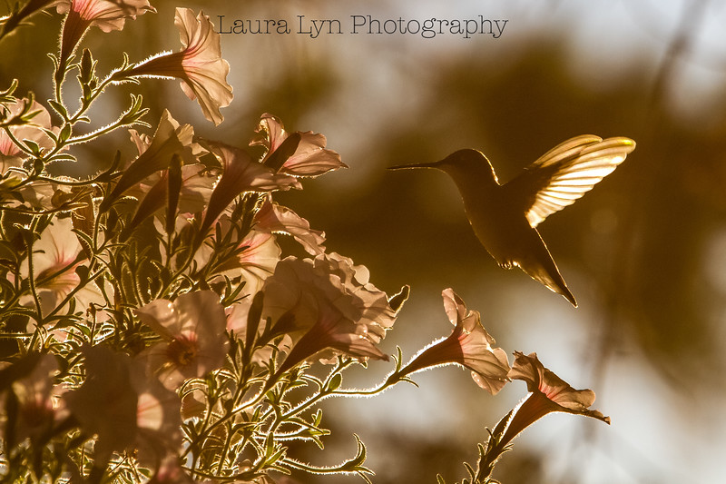 Sunset Hue Hummingbird