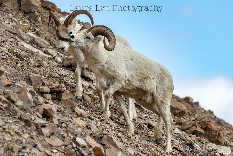 Dall Sheep Denali National Park May 21 2016 1-6