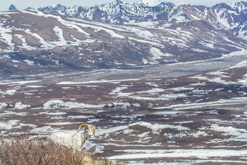 Denali National Park May 20 (16 of 63)