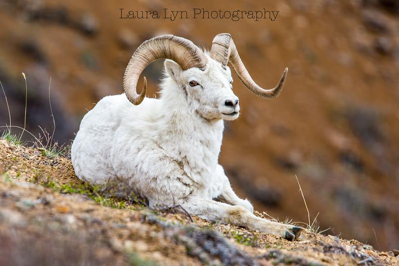 Relaxing Ram