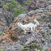 Dall Sheep photographed South of Anchorage in June 2016