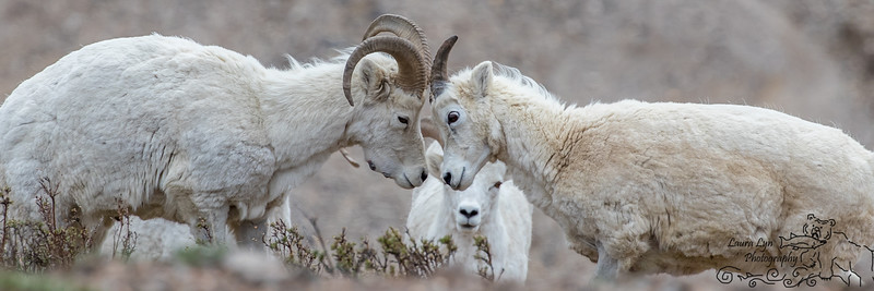 Dall Sheep May 23 2016 Extra_WATERMARK