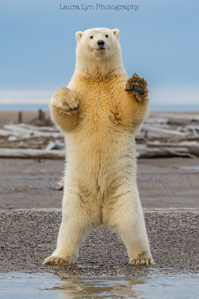 Polar Bears September 20 2016 (54 of 62)