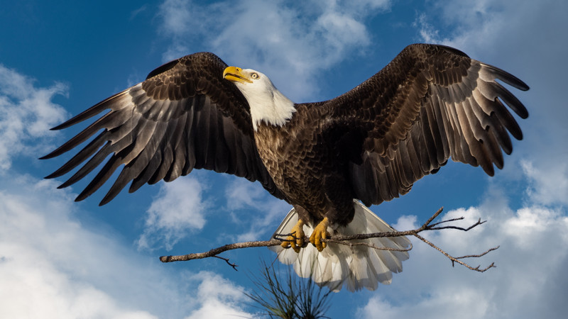Bald Eagle with Nesting Material