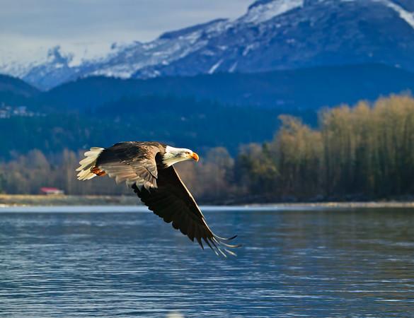 bald eagle, Haliaeetus leucocephalus, Brackendale, Squamish, Squamish River, Cheakamus River, Mamquam rivers, British Columbia, Canada