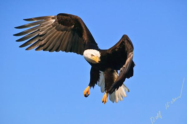 Bald Eagle, Haliaeetus leucocephalus, turning in flight. Canada/Alaska