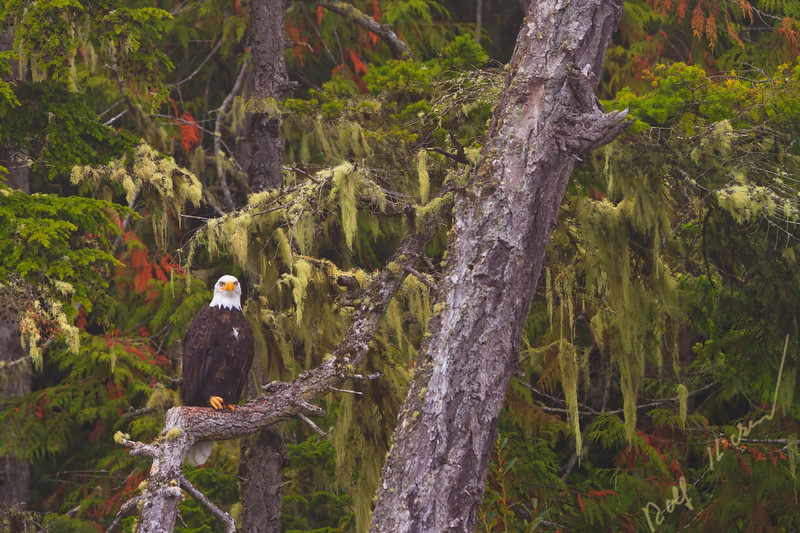Bald eagle sitting on an old tree along the Great Bear Rainforest, British Columbia, Canada