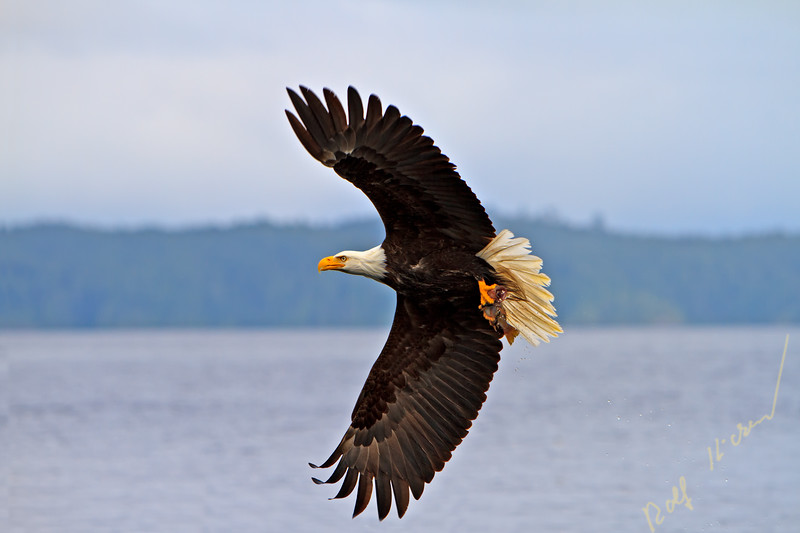 Bald eagle in flight with a fresh caught rock fish in its powerful talons, Pacific Ocean off the British Columbia coast, Canada.