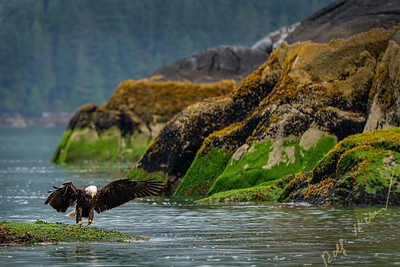 Bald eagle landing on a rock which is only exposed at low tide, with mussel beds in the back ground, Knight Inlet, First Nations Territory, British Columbia, Canada.