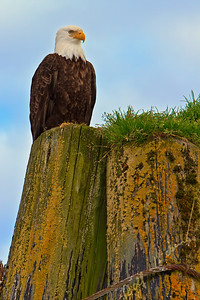 Bald eagle sitting on piling of a old wooden wharf in Knight Inlet, Great Bear Rainforest on the British Columbia mainland, Canada.