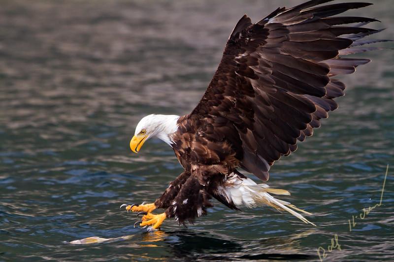 Bald eagle just before catching a fish in Broughton Archipelago Provincial Park, British Columbia, Canada. haliaeetus leucocephalus