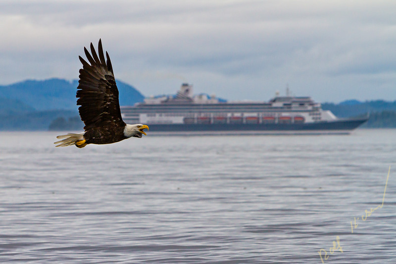 Bald eagle flying in front of a cruiseship close to the Broughton Archipelago, First Nations Territory, British Columbia, Canada.
