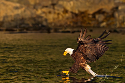 Bald eagle hunting and catching a fish, British Columbia, Canada.