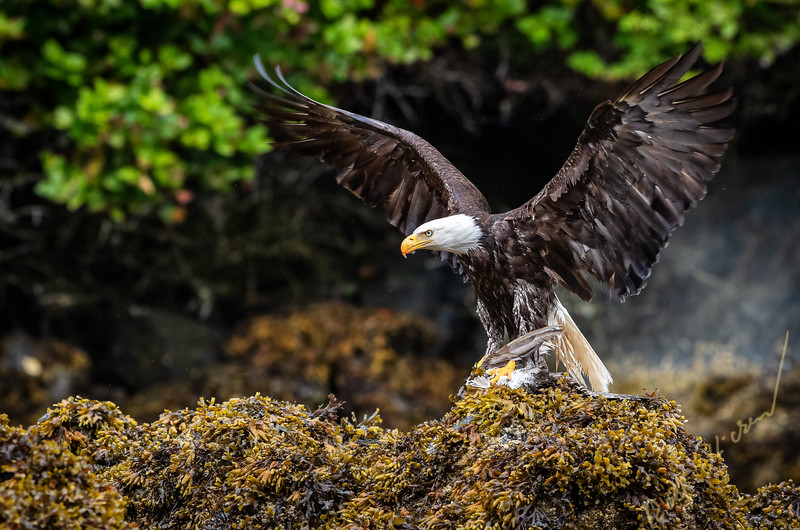 Adult bald eagle (Haliaeetus leucocephalus) with spread wings and a freshly caught seagull in its talons on seaweed during low tide in the Broughton Archipelago, First Nations Territory, British Columbia, Canada.