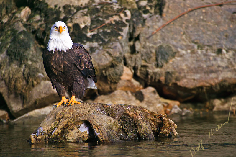bald eagle, Haliaeetus leucocephalus, Brackendale, Squamish, Squamish River, Cheakamus River, Mamquam rivers, British Columbia, Canada