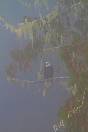 Bald eagle (Haliaeetus leucocephalus) sitting on a branch on a foggy day in the Great Bear Rainforest, British Columbia, Canada