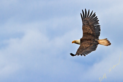 Bald eagle flying along the Great Bear Rainforest, British Columbia coast, British Columbia, Canada.