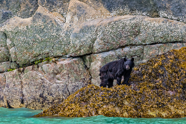 Black bear standing in seaweed near waterline at low tide along the steep cliffs in Knight Inlet, British Columbia, Canada.