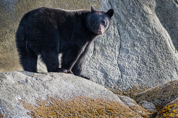 Black bear (Ursus americanus) standing along a cliff at low tide in Knight Inlet, beautiful British Columbia, Canada.