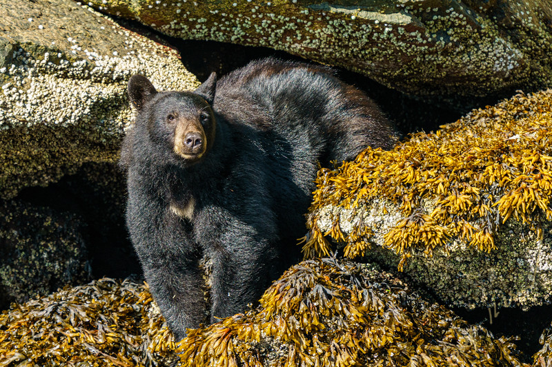 Black bear sitting at low tide on a small island in the Broughton Archipelago, First Nations Territory, British Columbia, Canada