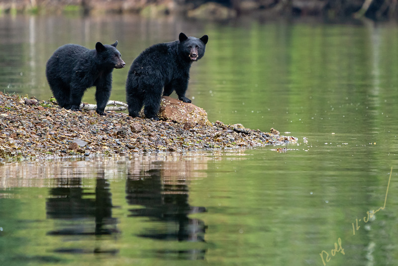 Two black bear cubs on the edge of an little island in Quatsino Sound, British Columbia, Canada.
